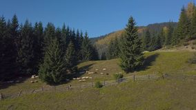 Het vliegen over het weiland met schapen stock videobeelden