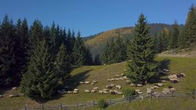 Het vliegen over het weiland met schapen stock footage