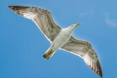 Het vliegen over zeemeeuw tegen een blauwe hemel Stock Foto's