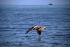 Het vliegen Peican Royalty-vrije Stock Afbeelding