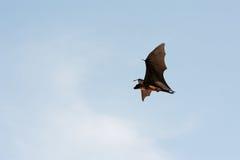Het vliegen Pteropus Stock Foto's