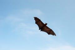 Het vliegen Pteropus Stock Fotografie