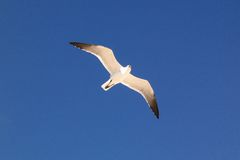 De vogel van de zeemeeuw tijdens de vlucht Royalty-vrije Stock Fotografie
