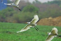Het Vliegen van aigrettes stock foto's