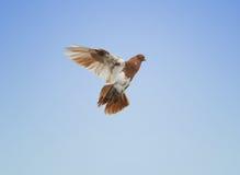 Het vliegen van de duif royalty-vrije stock afbeeldingen