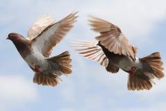 Het vliegen van de duif Stock Foto's