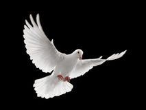 Het vliegen van de duif Stock Afbeeldingen
