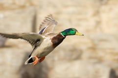 Het vliegen van de eend Royalty-vrije Stock Foto's