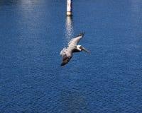 Het Vliegen van de pelikaan Royalty-vrije Stock Foto