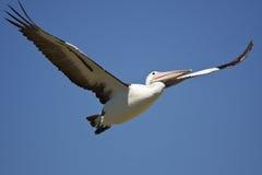 Het vliegen van de pelikaan Stock Fotografie
