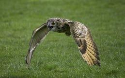Het vliegen van de uil Royalty-vrije Stock Foto