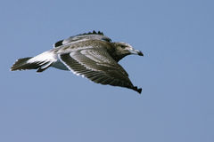 Het vliegen van de vogel stock foto