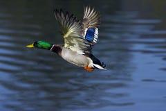 Het vliegen van de wilde eend Royalty-vrije Stock Foto's