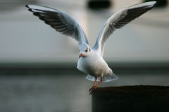 Het vliegen van de zeemeeuw Stock Foto's