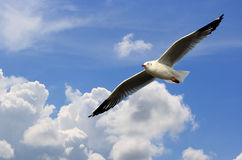 Het vliegen van de zeemeeuw royalty-vrije stock fotografie