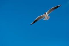 Het vliegen van de zeemeeuw Stock Afbeeldingen
