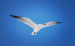 Het vliegen van de zeemeeuw royalty-vrije stock foto
