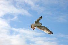Het vliegen van de zeemeeuw Stock Fotografie