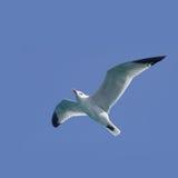 Het vliegen van de zeemeeuw Royalty-vrije Stock Foto's
