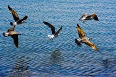 Het vliegen van de zeemeeuw royalty-vrije stock afbeeldingen