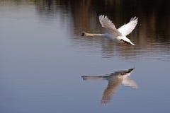Het vliegen van de zwaan Stock Fotografie