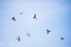Het Vliegen van duiven Royalty-vrije Stock Foto