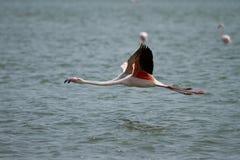 Het vliegen van flamingo's Royalty-vrije Stock Afbeeldingen