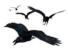 Het Vliegen van kraaien Stock Afbeelding