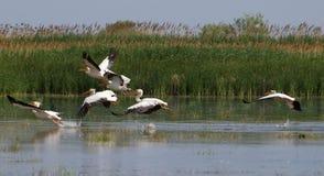 Het vliegen van pelikanen Royalty-vrije Stock Fotografie