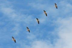 Het vliegen van pelikanen stock foto's