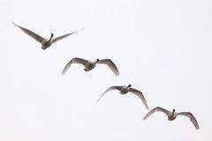 Het Vliegen van vier Zwanen Royalty-vrije Stock Foto's