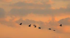 Het vliegen van vogels Royalty-vrije Stock Afbeeldingen
