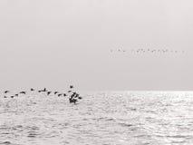 Het vliegen van vogels Stock Foto's