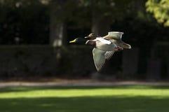 Het vliegen van wilde eenden Stock Foto