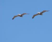 Het vliegen van zeemeeuwen royalty-vrije stock afbeelding