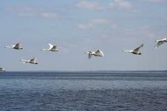 Het vliegen van zwanen Stock Afbeeldingen