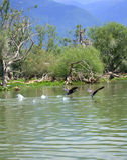 Het vliegen vogelspaar over water stock foto