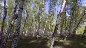het vliegende hout van de trog bosboom Zongloed De achtergrond van de aard stock footage