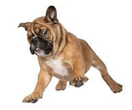 Het vliegende puppy van de Bokser Stock Foto