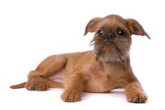 Het vlotte haired puppy van Brussel Griffon royalty-vrije stock afbeeldingen