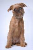 Het vlotte haired puppy van Brussel Griffon stock fotografie
