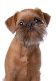 Het vlotte haired puppy van Brussel Griffon stock foto