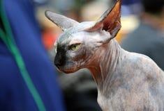 Het vlotte hartelijke slimme elegante huisdier van het kale rassen grote oren van de sfinxkat stock fotografie