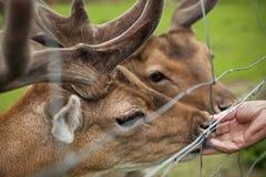 Het voeden deers Stock Foto