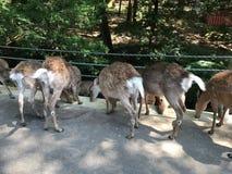 Het voeden deers Stock Foto's