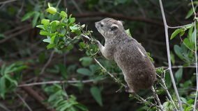 Het voeden hyrax