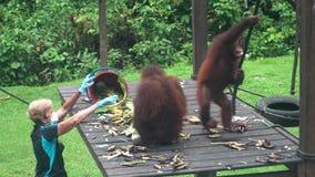 Het voeden pygmaeus van Orangoetanspongo in Revalidatiecentrum, Maleisië - 21 Februari 2018 Bedreigd Endemisch Borneo stock video