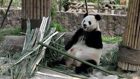Het voeden Tijd voor Reuzepanda, China stock video