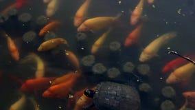 Het voeden Tijd voor Schildpadden en Vijvervissen stock footage