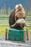 Het voeden van Alaska Muskox dichtbij Anchorage Royalty-vrije Stock Foto